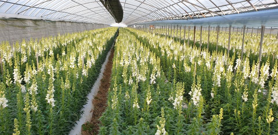 ▲금어초 농장