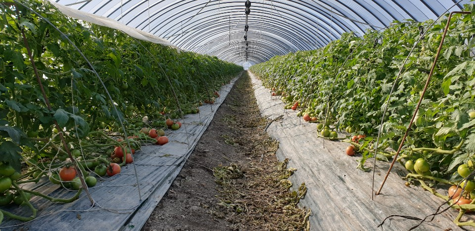 ▲토마토 농장